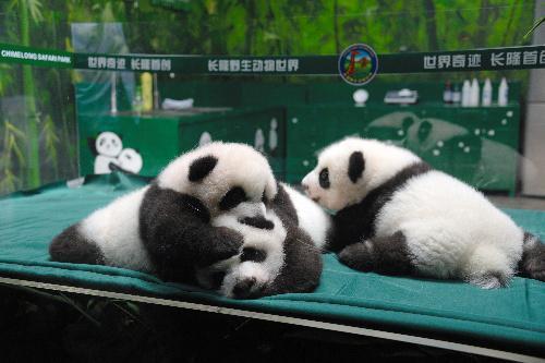 じゃれあう三つ子のパンダ=2014年11月5日、中国・広州の長隆野生動物ワールド、延与光貞撮影