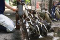 流しアジに挑戦するフンボルトペンギン