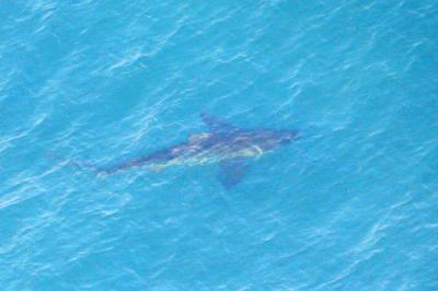 海岸近くを泳ぐサメと見られる魚影=2015年8月7日、茨城県鉾田市沖