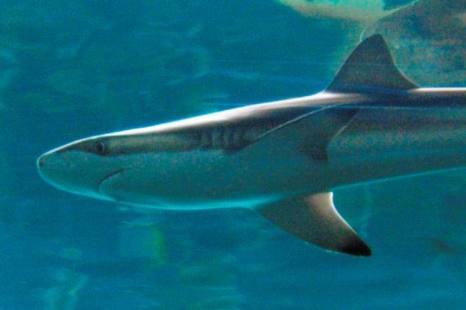 サメの一種、クロヘリメジロ=海響館提供