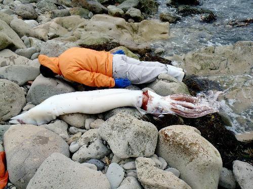 大人の背丈を上回る大きさの巨大イカ=佐渡市椎泊付近、新潟県提供