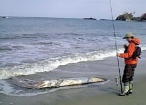 会社員が釣り上げた長さ約6メートルのダイオウイカ=京都府京丹後市丹後町久僧の海岸で、本人提供