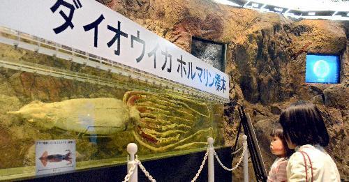 常設展示されたダイオウイカのホルマリン標本=島根県立しまね海洋館