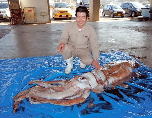 兵庫県豊岡市竹野町沖で見つかったダイオウイカ=香美町香住区の香住漁港東港で