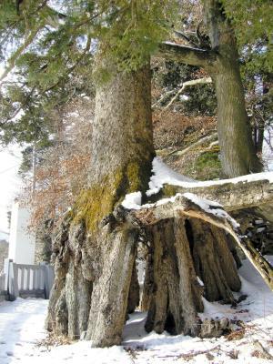 宝永噴火の「生き証人」と伝えられる根上がりモミ。地表から2メートル近くも根がせり出している=2008年2月5日、静岡県小山町須走で