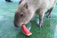 スイカを食べる伊豆シャボテン公園のカピバラ「ケビン」