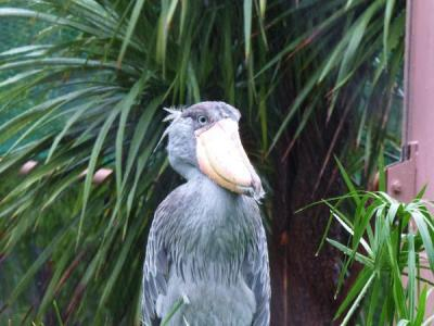 大雨も気にしない「ハシビロコウ」。魚を狙うために気配を消す習性