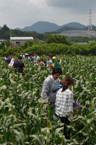 コーン畑で開かれた「スイーツコン」=2014年7月5日、福岡県古賀市