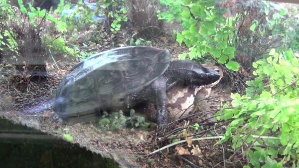 逃げようとするメスガエルになお覆いかぶさろうとするオスガメ=2015年1月撮影、北九州市ほたる館提供