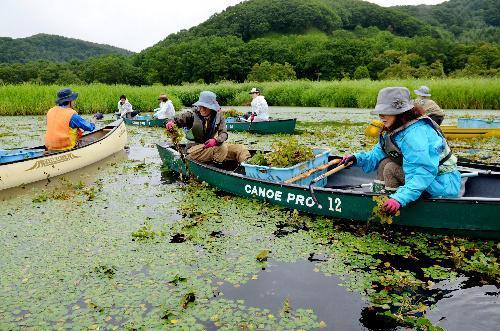 釧路湿原であった「ヒシ刈り婚活」=2015年8月22日