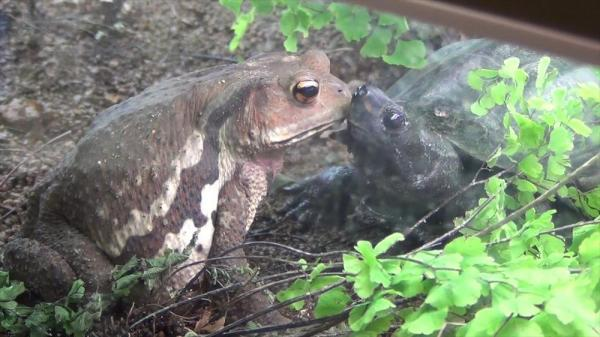 メスガエルに「キス」をするオスガメ=2015年1月撮影、北九州市ほたる館提供