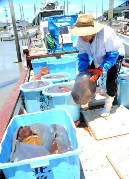 有明海でクラゲを水揚げする漁師。もともとはノリ養殖が専業という=2013年7月、福岡県柳川市