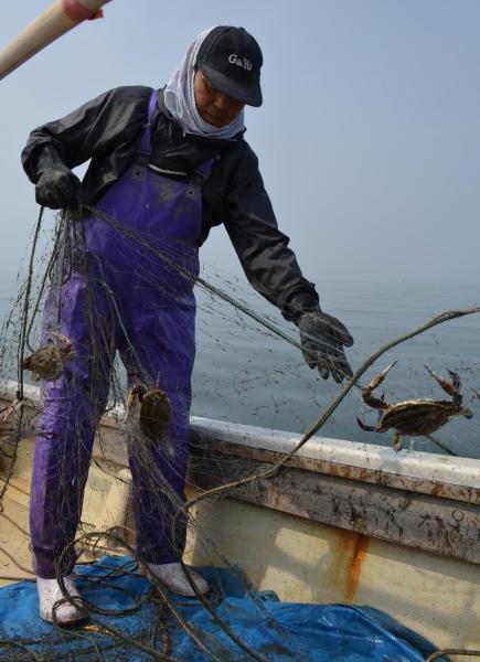 ワタリガニの一種、ガザミのかかった網を引き揚げる=2013年5月、佐賀県太良町沖の有明海