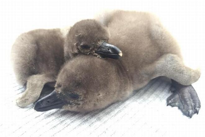 ペンギンのヒナ「相葉」(右)と「松本」