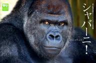 東山動植物園のゴリラ「シャバーニ」の写真集の表紙=扶桑社提供