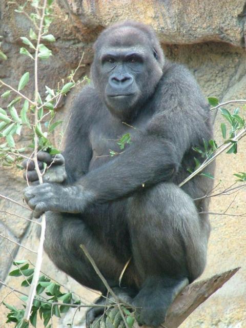 東山動植物園に来たころのシャバーニ=名古屋市提供