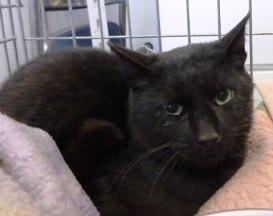 保護された黒猫。オスだった=諏訪保健所提供