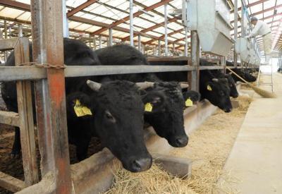 牛舎の中で近江米の稲わらを食べて育つ近江牛