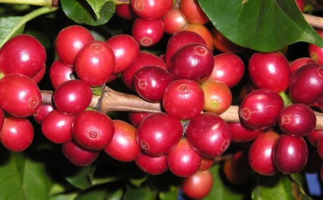 YKKの農場で栽培されているコーヒー豆