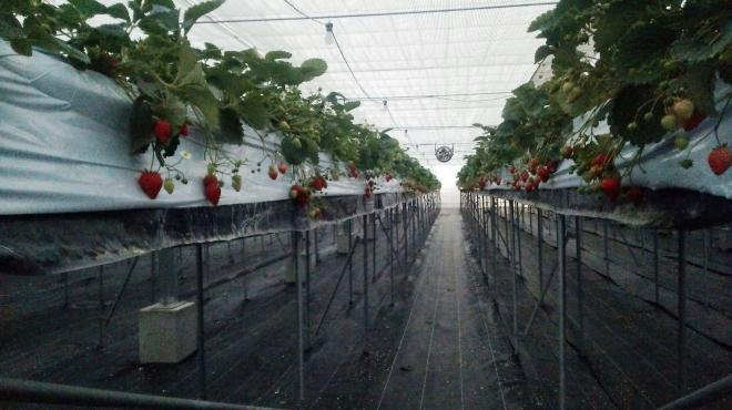 ビニールハウスのなかで栽培されているイチゴ