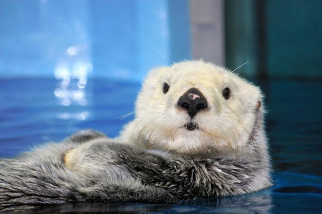 池袋のサンシャイン水族館のミール。2016年1月に死亡し、サンシャイン水族館のラッコ展示に幕が下ろされることになった
