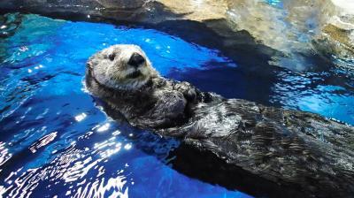 水槽を泳ぐラッコ。水族館での繁殖は年々、厳しくなっている