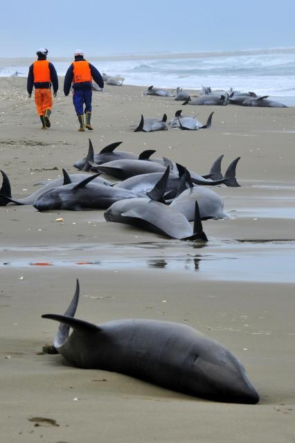 海岸に漂着した多数のイルカ=2015年4月10日、茨城県鉾田市上沢、池田敏行撮影