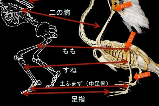 鳥と人の骨組みの比較
