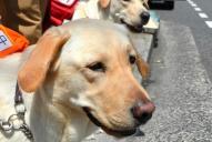 横断歩道の前で待つ訓練犬=2014年6月19日、広島市中区