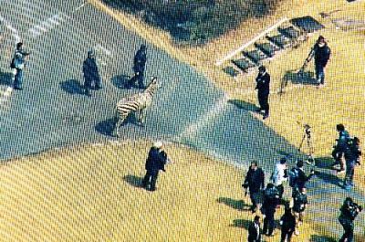ゴルフ場に逃げ込んだシマウマを捕獲しようとする警察官ら=3月23日、岐阜県土岐市、メ~テレ提供