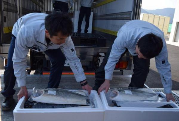 「におわない」をキャッチフレーズに初出荷されたブリ=1月25日、和歌山県新宮市佐野