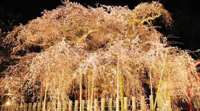 照明で夜空に浮かび上がる諏訪神社(いわき市小川町)のしだれ桜。震災で2年ぶりに点灯した=2012年4月16日