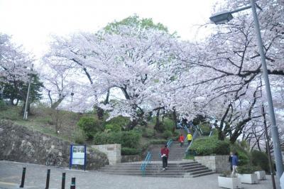 掃部山公園入り口には、立派な桜の木がある=4月、横浜市、軽部撮影