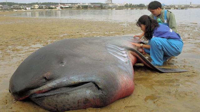 1994年、九州の海岸に打ち上げられた幻のサメメガマウス