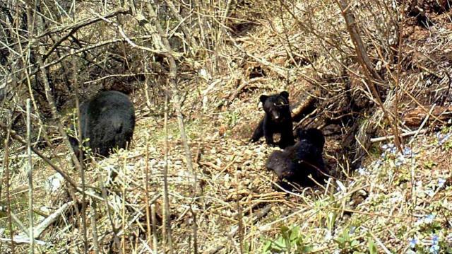 長野県内で4月29日に撮影された冬眠明けのクマの親子=ピッキオ提供