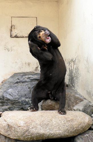 頭を抱えて鳴くマレーグマのツヨシ君=山口県周南市の徳山動物園で、動物園提供