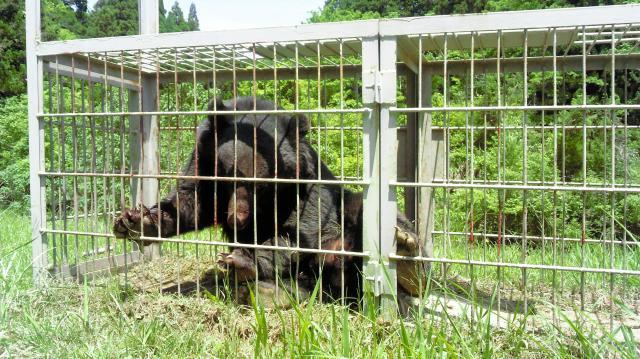 三重県が捕獲したツキノワグマ。この後、滋賀県内で放された=2015年5月17日、三重県提供