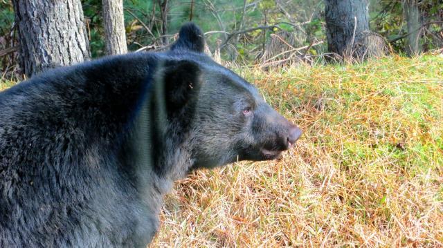 但馬地域で捕獲されたツキノワグマ=2012年11月撮影、兵庫県森林動物研究センター提供