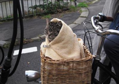 寒さを和らげるため毛布に巻かれたキャベツ