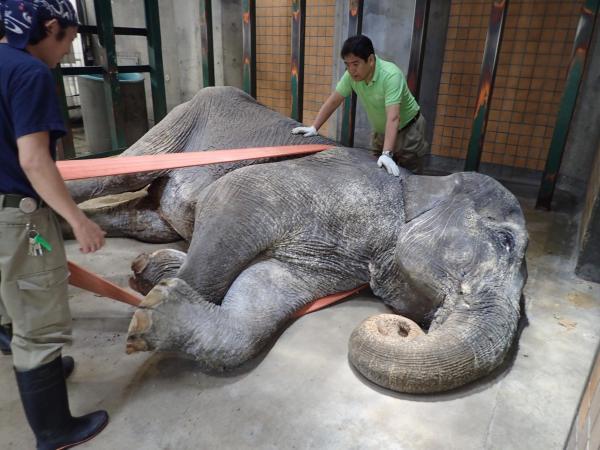 内蔵圧迫を避けるため、横になったはな子をロープで起こそうとする飼育職員ら=2016年5月26日午前11時ごろ、公益財団法人東京動物園協会提供