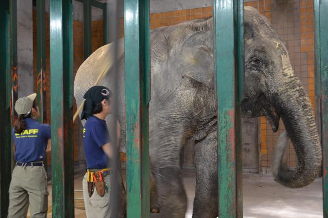 飼育員が背中や足を熊手でかき、手で肌に触れると、はな子は鼻を揺らした=2016年5月12日、井の頭自然文化園