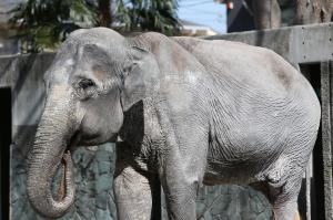 飼育員の事故、環境の変化… ゾウの「はな子」、波瀾万丈の69年