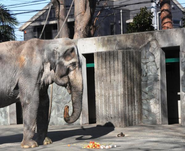 69歳になった直後、ゾウ舎の運動場を歩くはな子=1月3日、公益財団法人東京動物園協会提供