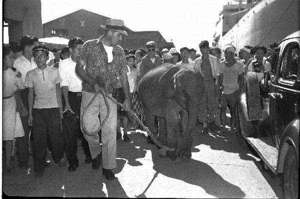 タイ生まれのゾウが1949年9月2日、神戸港に到着。その後、「はな子」と命名された