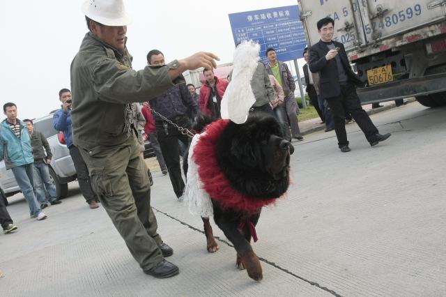 当時、280万元(約5000万円)の値段がついたチベット犬=2010年11月