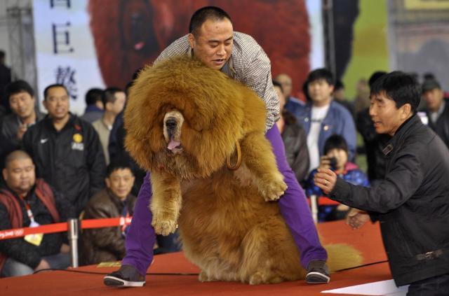 中国・瀋陽であったチベット犬のコンテスト=2012年3月