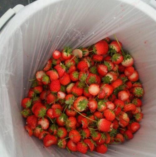 イチゴ狩りで、甘い先端部分だけ食べて捨てられたイチゴ