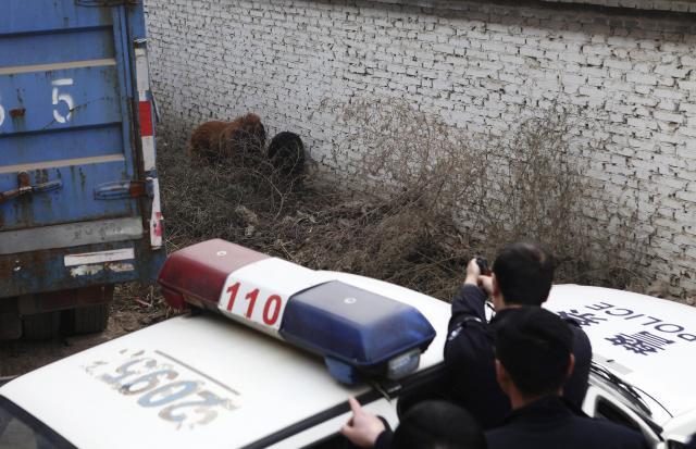 人に嚙み付きけがをさせたチベット犬を撃つ警察官=2013年11月