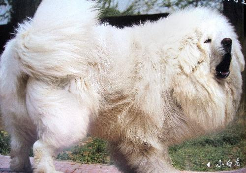 真っ白なチベット犬=北京、2010年8月