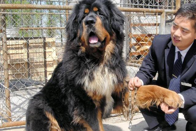 1匹8億円の値段がついたこともある「チベット犬」。今は価格が暴落し食肉用に出荷されることもあるという